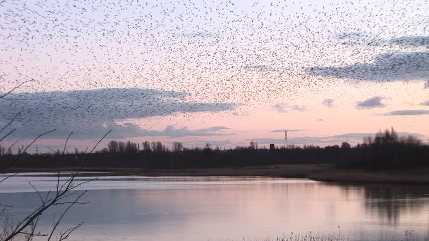 Evening sky and starling flock of birds | Shutterstock HD Video #14720311