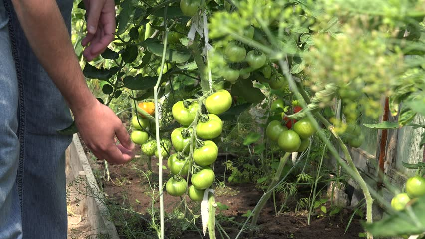 Peasant farmer man hands check care unripe tomato vegetables growing in farm greenhouse. Static shot. 4K - 4K stock footage clip