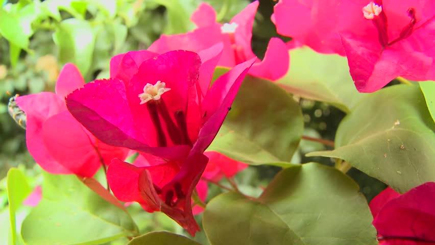 Bougainvillea Flowers Bloom In A Tropical Rainforest