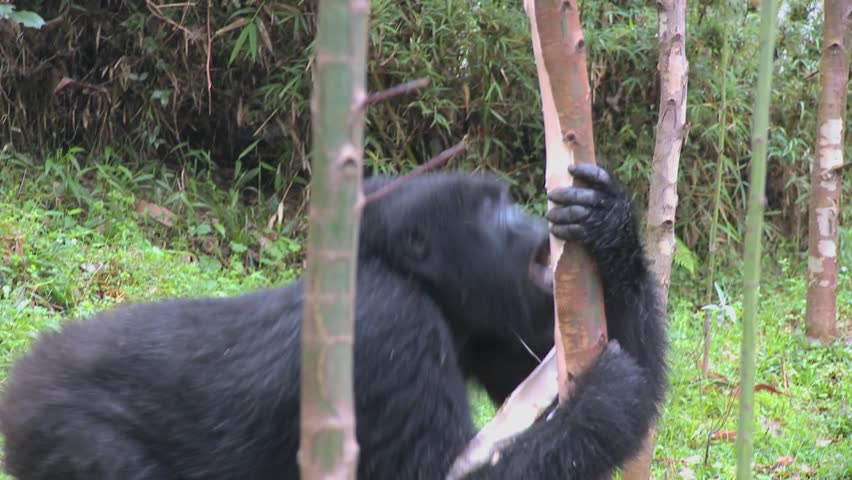 Mountain gorillas feed in a eucalyptus grove in Rwanda. - HD stock video clip