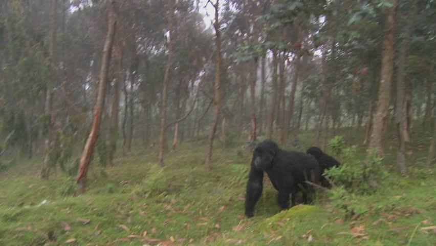Gorilla and baby walk through farmers fields in the mist in Rwanda. - HD stock video clip