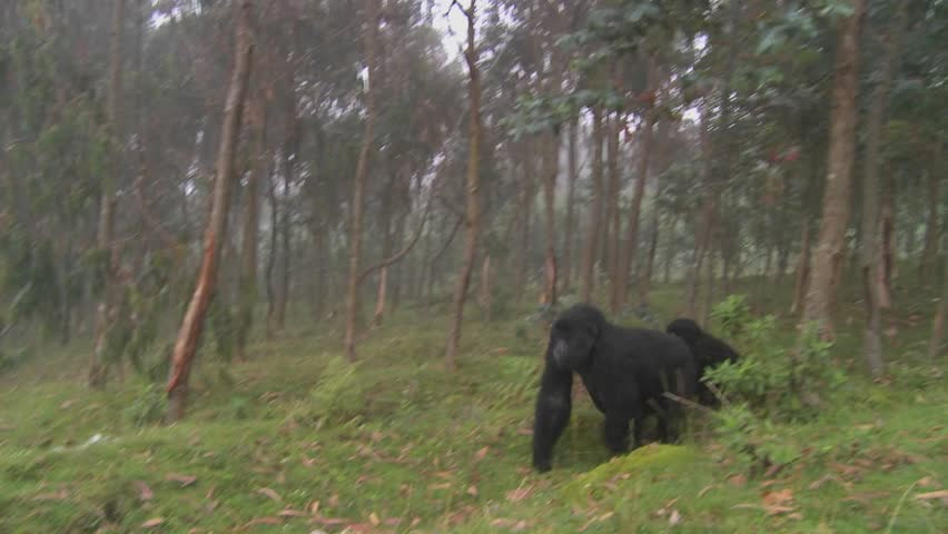 Gorilla and baby walk through farmers fields in the mist in Rwanda.