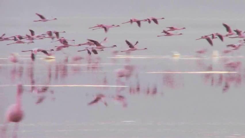 Beautiful footage of pink flamingos in early morning light on Lake Nakuru, Kenya. - HD stock footage clip