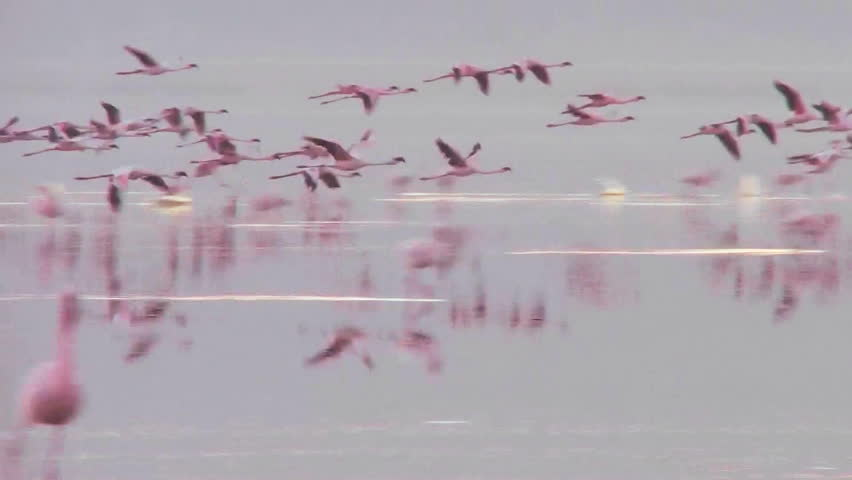 Beautiful footage of pink flamingos in early morning light on Lake Nakuru, Kenya. - HD stock footage clip