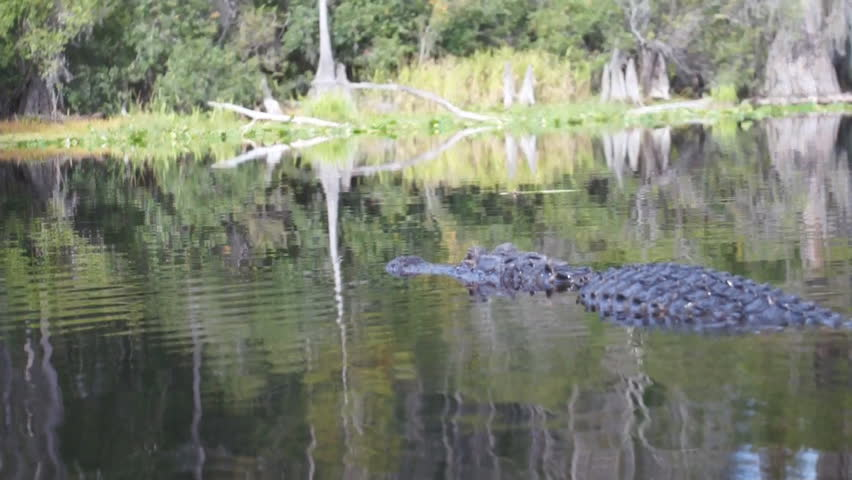 Header of Alligator mississippiensis