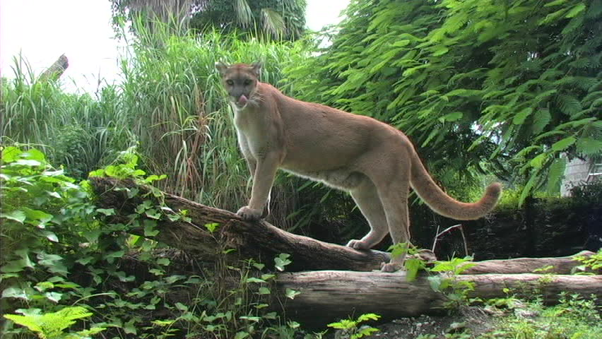 Florida Panther on fallen tree - SD stock video clip