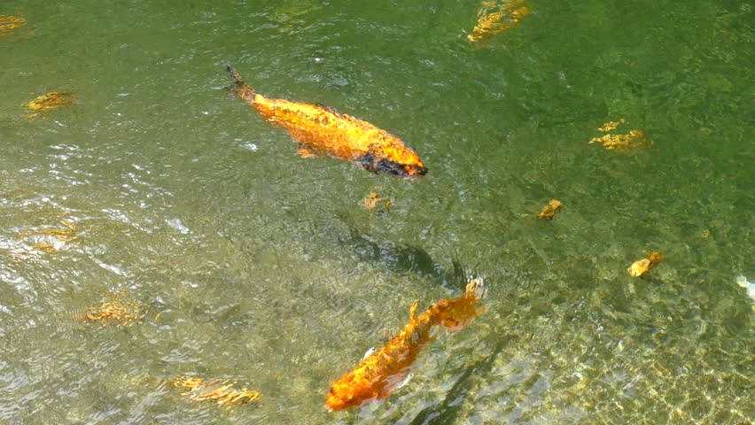 The pond definition meaning for Japanese koi fish names