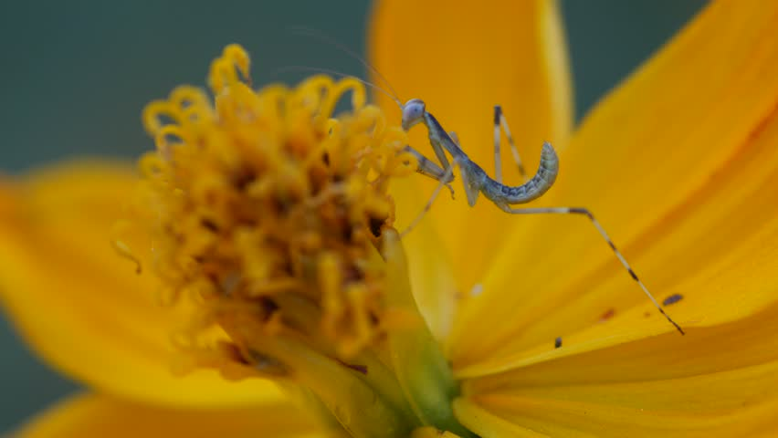 a little mantis is climbing on the  cosmos flower