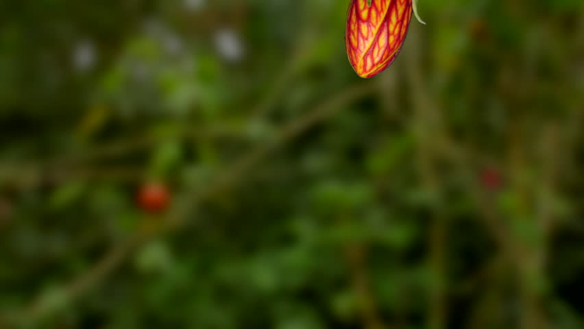 Header of Abutilon pictum