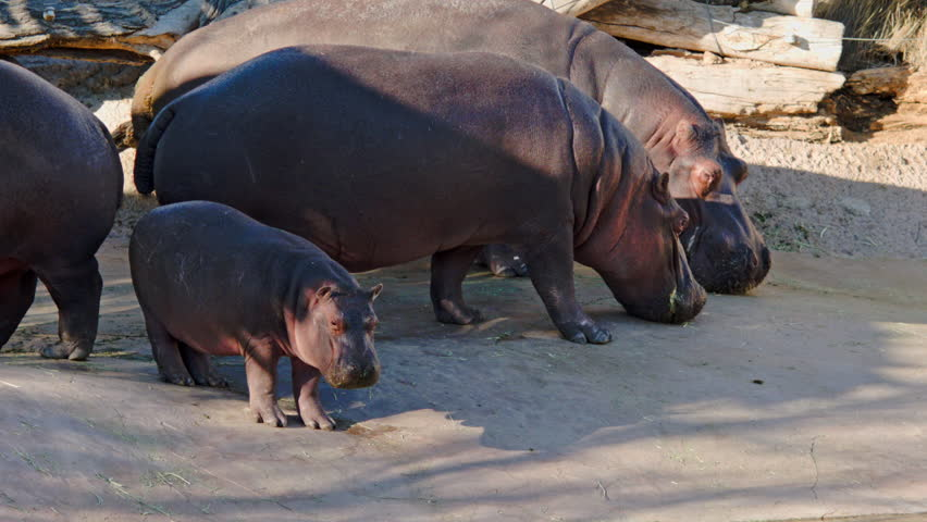 This is a shot of hippos in captivity at the Albuquerque zoo. Shot on a BMCC