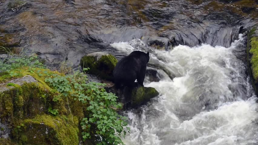 A black bear crosses a river in search of salmon - HD stock footage clip