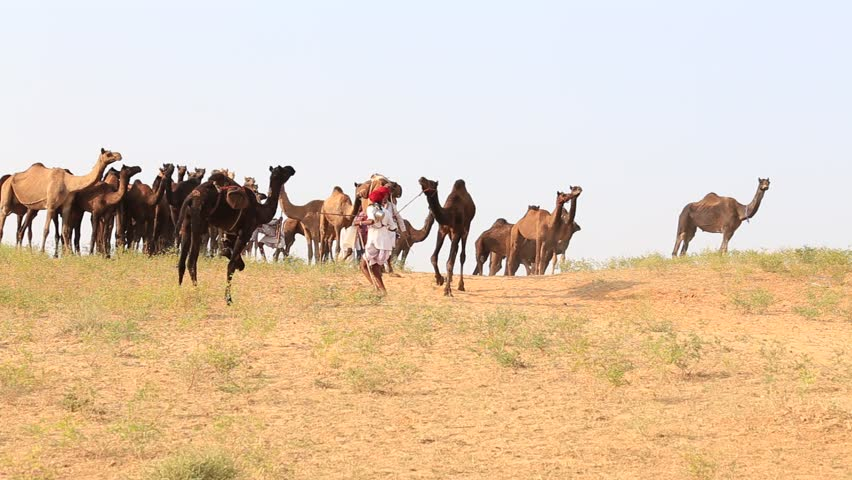 PUSHKAR, INDIA - OCTOBER 27, 2014: Unidentified Indian men and herd camels attended the annual Pushkar Camel Mela. This fair is the largest camel trading fair in the world. - HD stock video clip