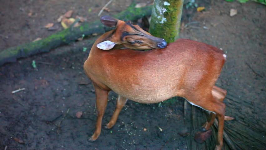 Header of genus Muntiacus
