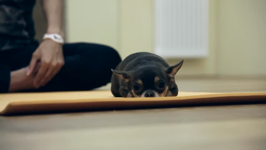 Chihuahua puppy - HD stock footage clip