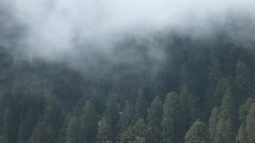 Aerial shot - Forest of pine trees gently shrouded by a slowly moving fog - HD stock footage clip