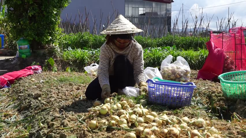 CAMPONGCHAM, CAMBODIA - 25 FEB, 2016 : Farmers are harvesting ripe big onion vegetable heads in garden. Healthy natural food growing. - HD stock video clip