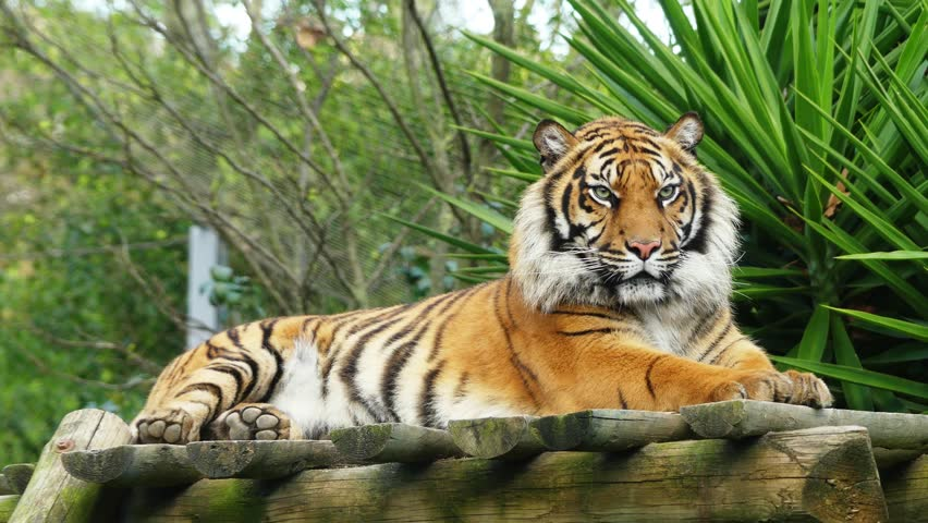 4k tiger (Panthera tigris) is the largest cat species, most recognisable for their pattern of dark vertical stripes on reddish-orange fur with a lighter underside.   Shutterstock HD Video #15868387
