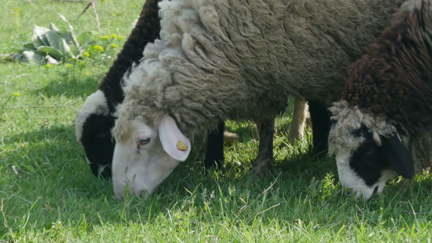 Sheep and lambs grazing grass on the field, heads close up, low angle view, no color grading. - 4K stock video clip