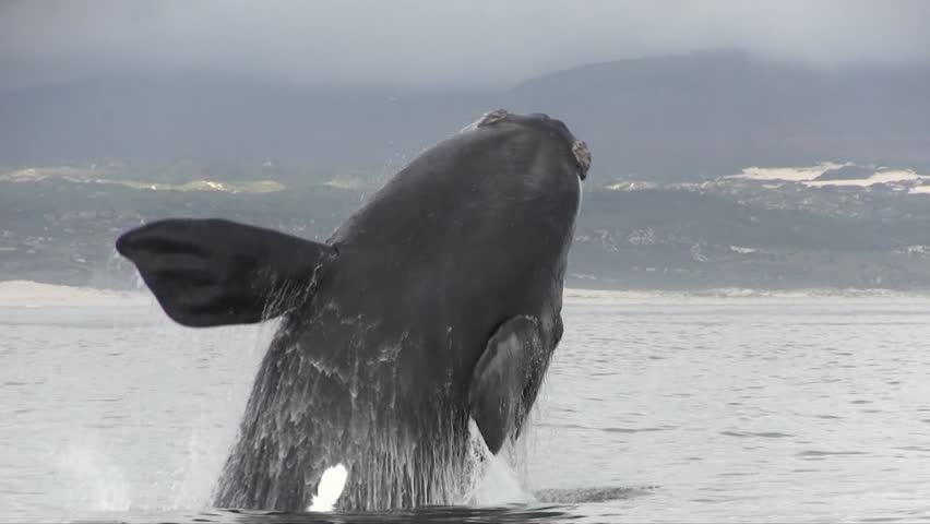 Southern Right Whale Breaching Filmed Close Up  | Shutterstock HD Video #16065325