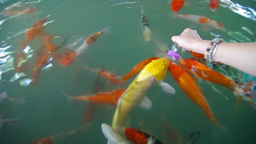 Putting fish food to many beautiful golden koi fish in the for Golden ornamental pond fish crossword