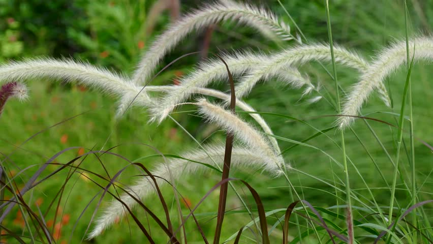 Imperata cylindrica Beauv of Feather grass in nature - 4K stock video clip