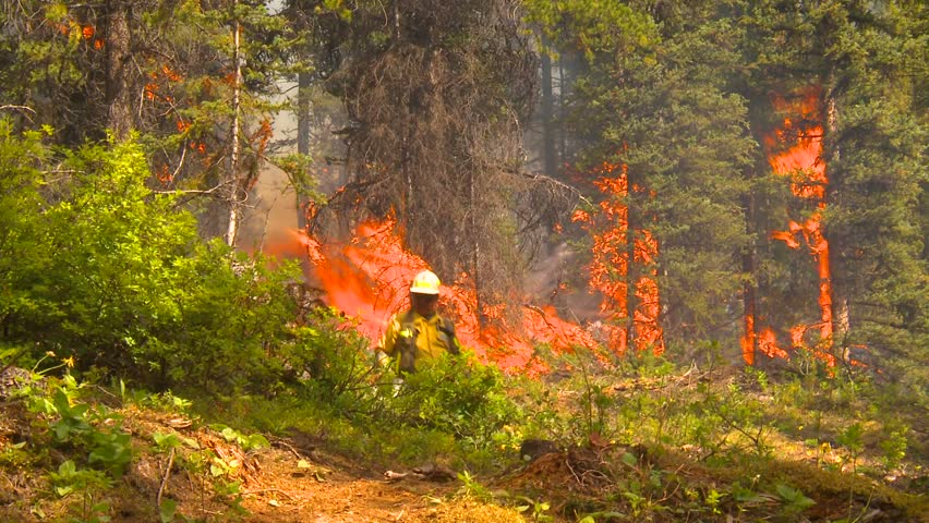 forest fire, firefighter walking along - HD stock footage clip