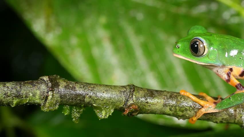 Tiger-striped Leaf Frog (Phyllomedusa Tomopterna). Jumps