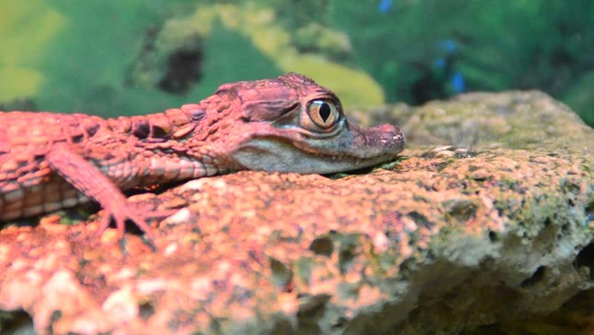 Crocodile - HD stock video clip