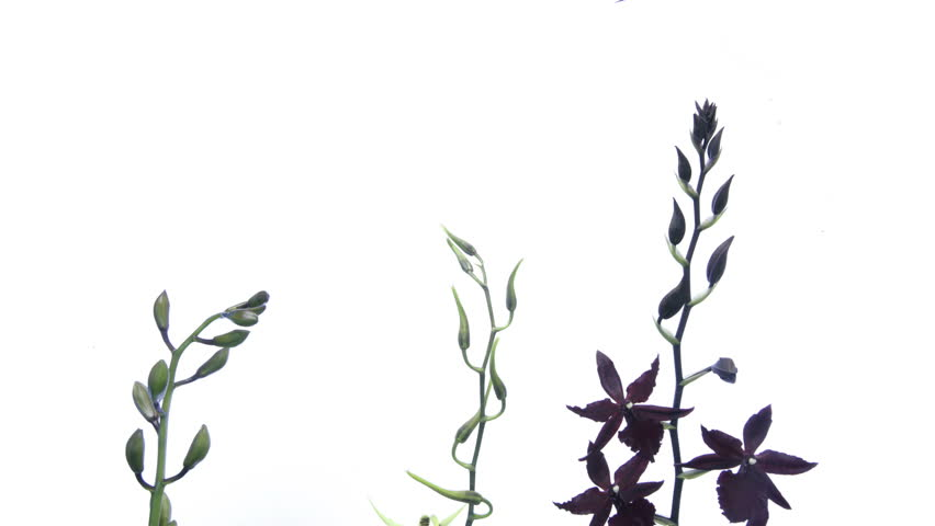 timelapse of three orchids on white background  - HD stock footage clip