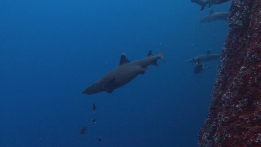 Fantastic dive with sharks off the island of ROCA Partida in the Pacific ocean near Mexico. - HD stock footage clip