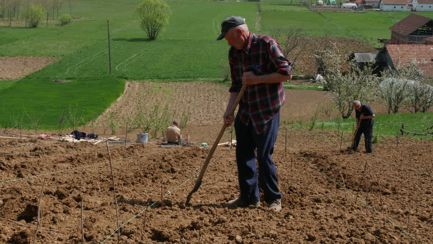 Old farmers planting vine seedlings on the plowed land up the hill at sunny day, beautiful scene of agricultural works at countryside, outdoor, daylight.