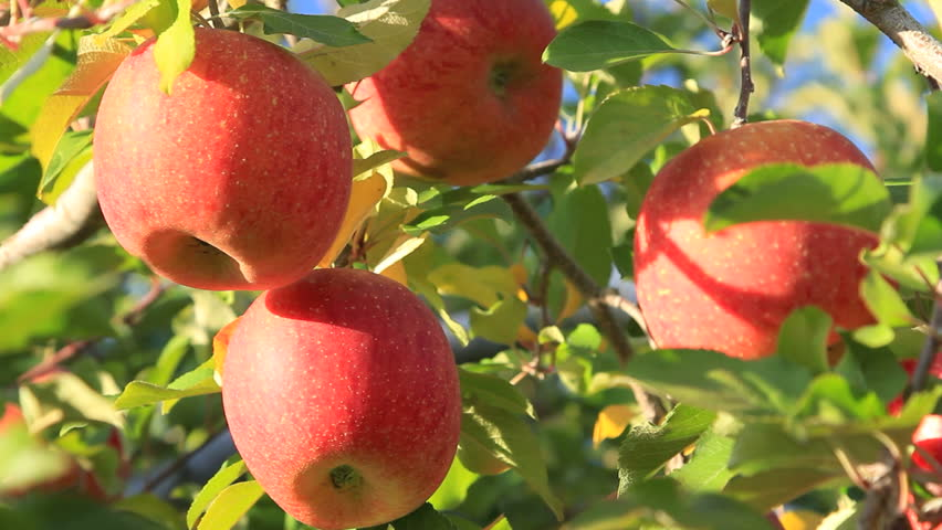 Apple trees with red apples. | Shutterstock HD Video #1638721