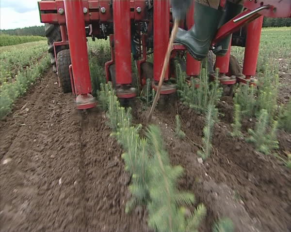 Tractor hill up earth Christmas tree fir plants. Agricultural machinery.  Worker legs with rubber boots.