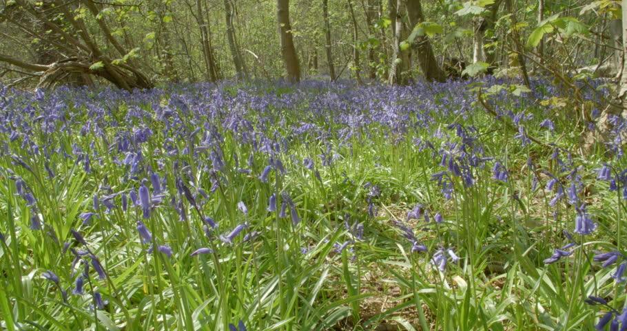 <b>Beautiful</b> Flower Fields In <b>Spring Forest</b>. Flowers In <b>Forest</b> Scilla ...