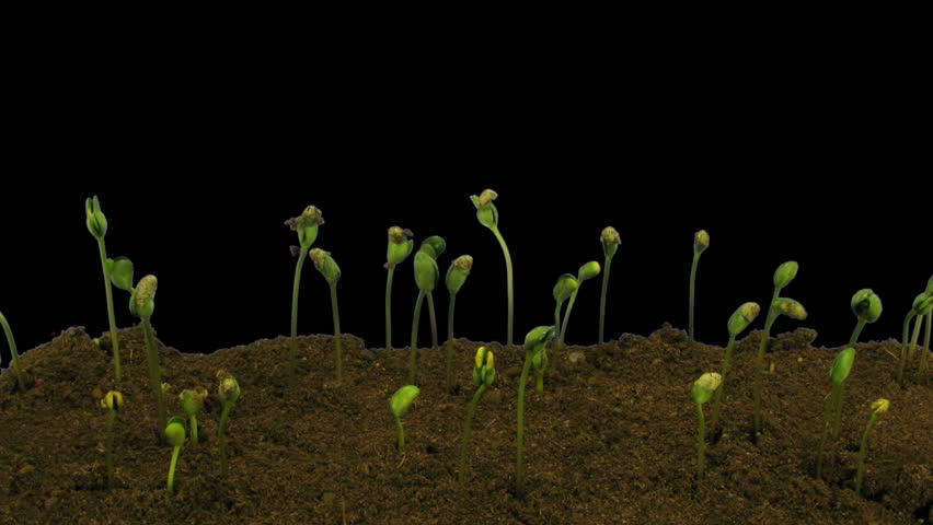 Time-lapse of growing soybeans vegetables 5a3 in RGB + ALPHA matte format isolated on black background
