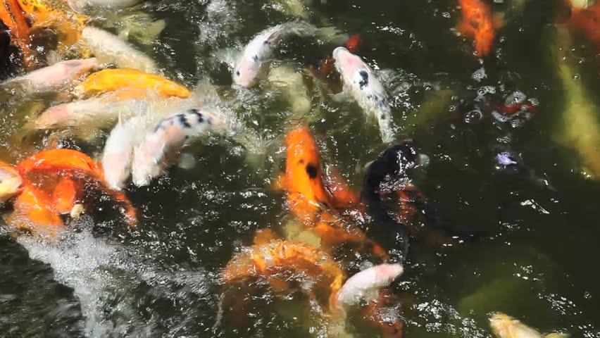Koi carp feeding stock footage video 1653919 shutterstock for Feeding koi fish