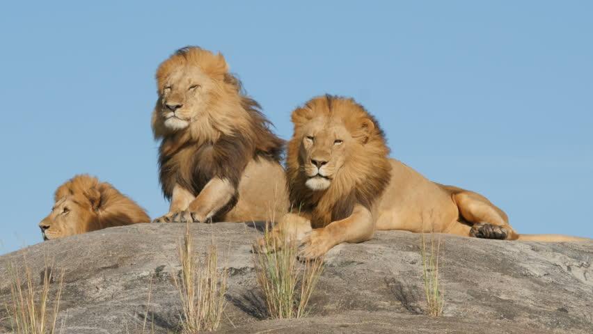3 big male lions lying on the rocks in Serengeti national park Tanzania - 4K   Shutterstock HD Video #16540462
