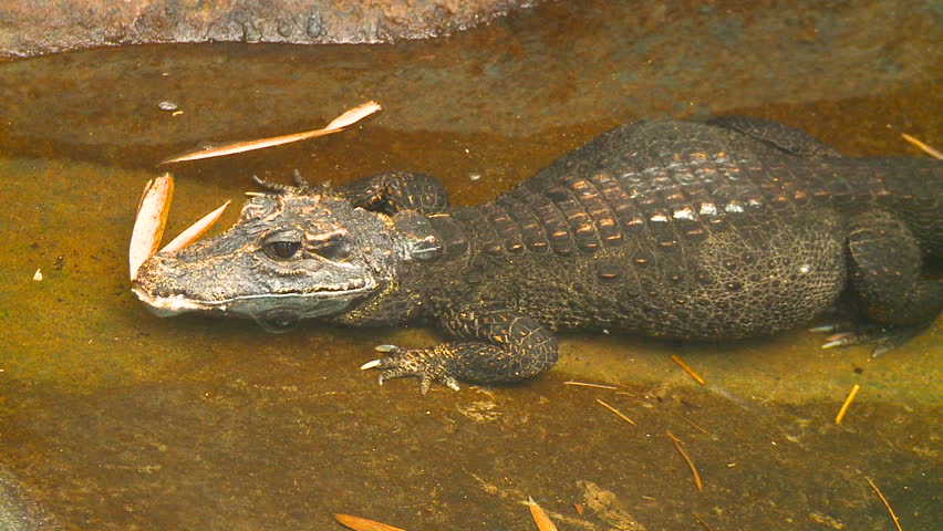 Header of African Dwarf Crocodile