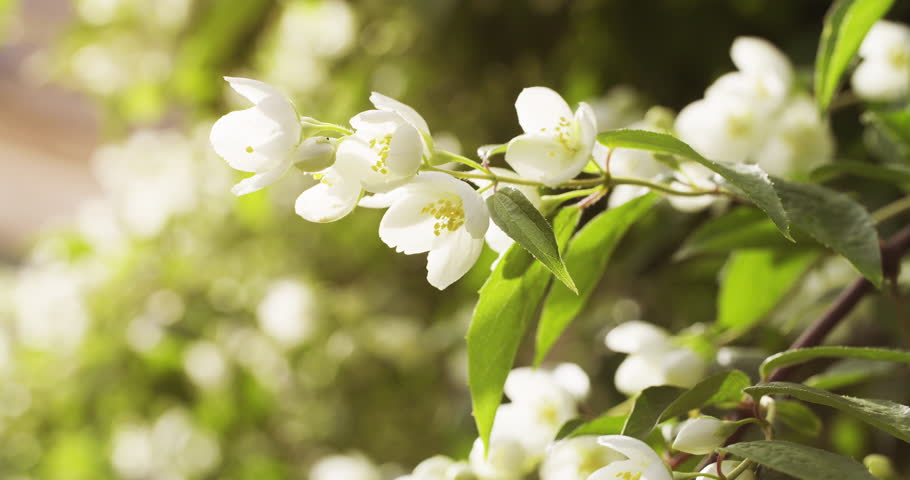 Jasmine white flowers in sunset light, 4k prores footage | Shutterstock HD Video #16587127