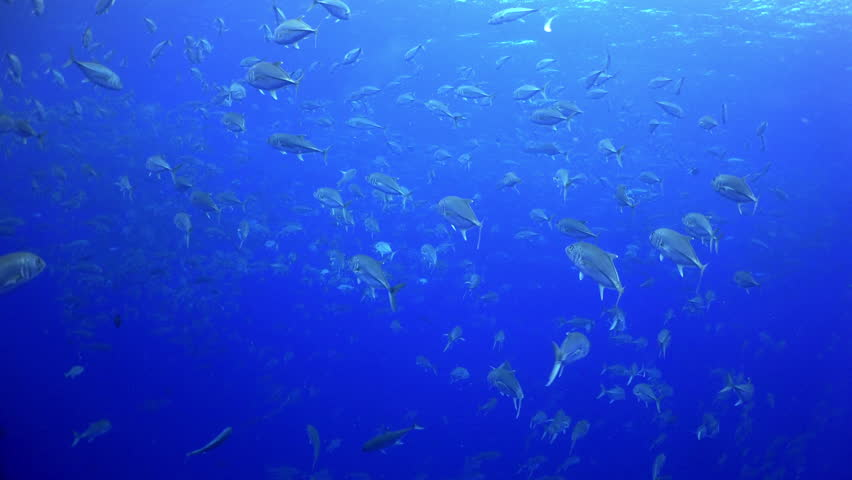 School Tuna fish swims over rocky reef and in blue sea, Caribbean Cocos Costa Rica. Underwater landscape, rocky pinnacles, canyons, walls, caves. Amazing  array of marine life ready for exploration. | Shutterstock HD Video #16642171