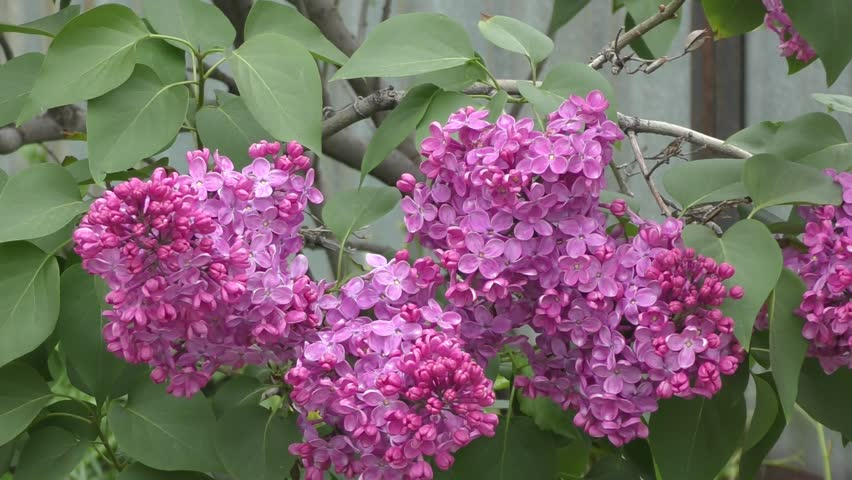 Blooming lilac in spring morning - HD stock video clip