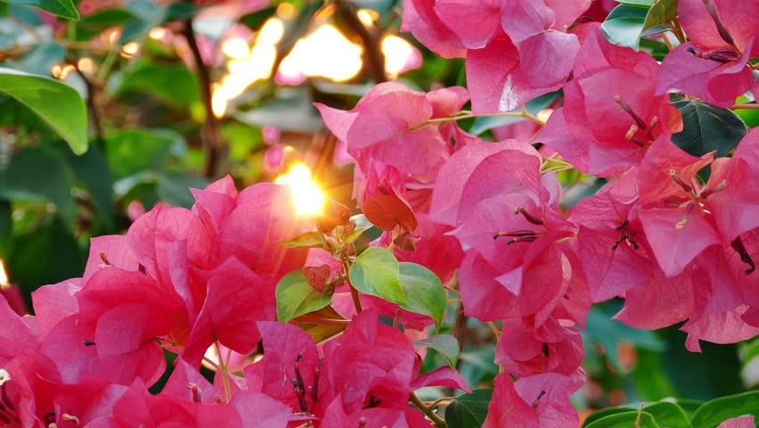 Pink Bougainvillea flowers on tree, 4K - 4K stock footage clip