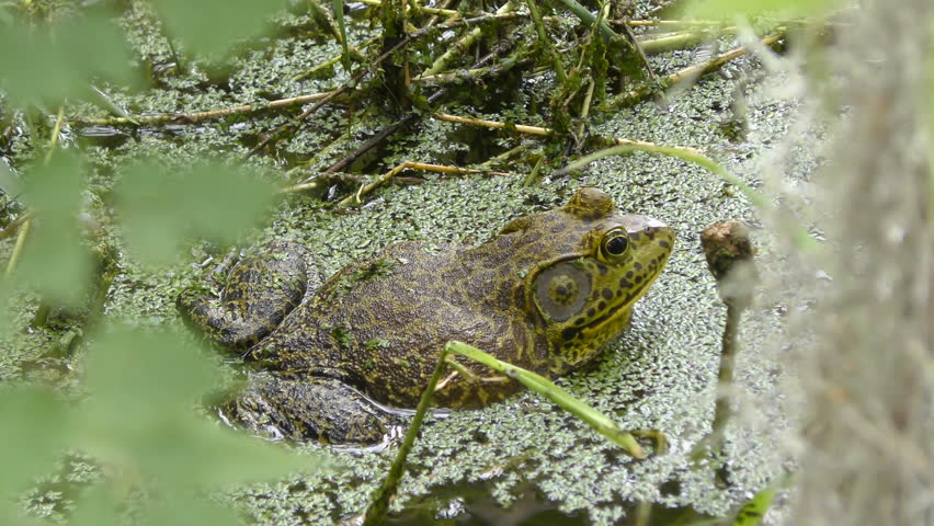 Header of American Bullfrog