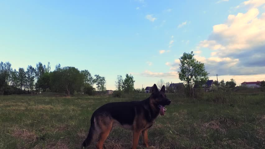 Dog running with stick in mouth. Close up. Steadicam shot. - HD stock footage clip