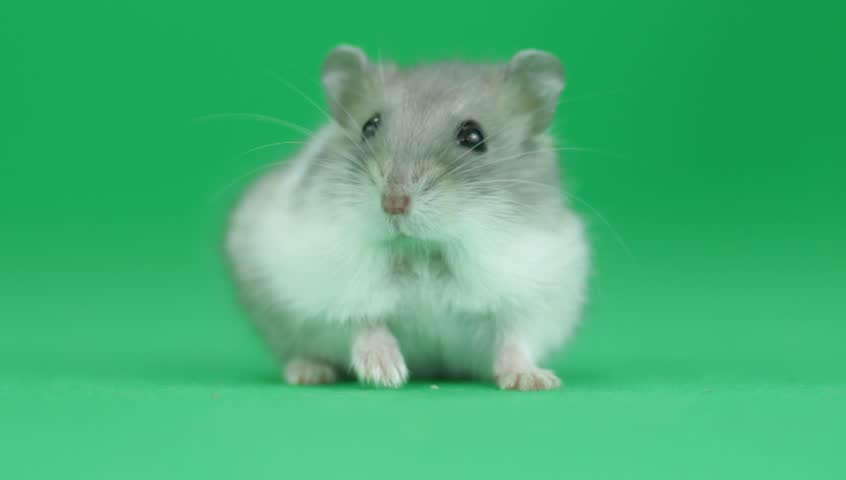 Hamster sitting on a green screen - HD stock footage clip