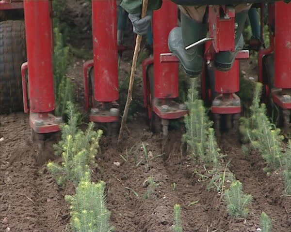 Tractor blanch christmas tree fir seedlings. Agricultural machinery. Worker sitting at the end for supervision.
