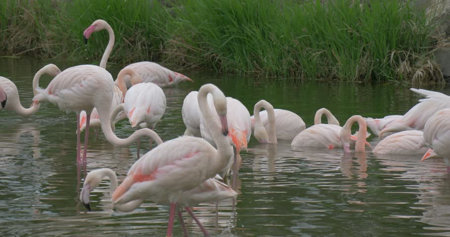 a Large Group of Pink Flamingos Are Walking in a Small Pond Slowly, Shaking Their Bodies and Cleaning Their Feathers Slowly. One Spreads Its Wings. There is Green Grass in the Background. - 4K stock video clip