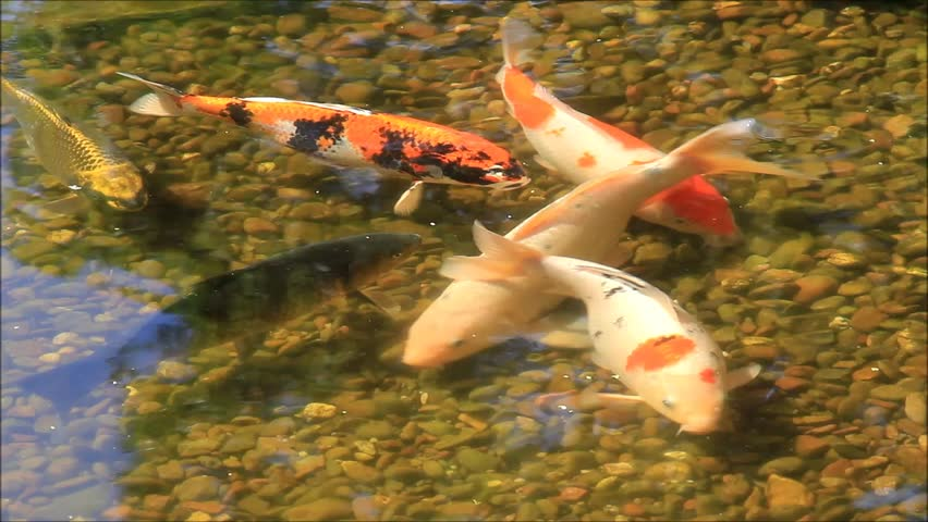 Tranquil koi fish pond with water reflection 1080p panning for Koi fish pond hd