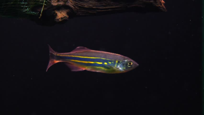 SLOW MOTION: Colorful aquarium fish swimming in a freshwater fish tank. - HD stock footage clip