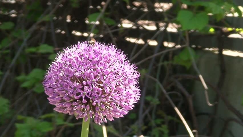 Header of Alliaceae